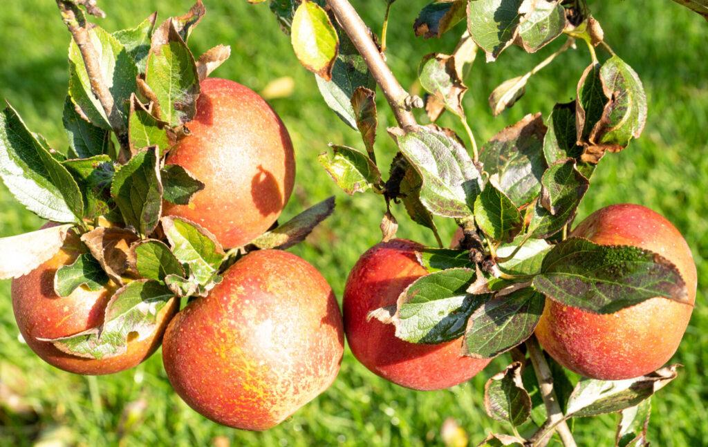 Fruit Your World Appels